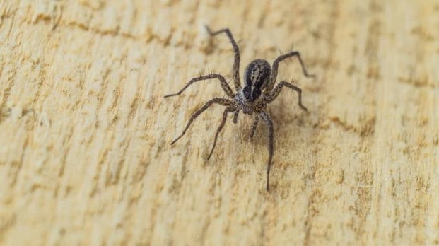 Spider violin, hospitalization boom in Rome. What to do in case of puncture